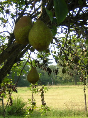 Pear tree small.jpg